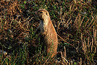 /images/133/2007-07-27-mt-prairie-dog03.jpg - #04467: Prairie dogs in Greycliff Prairie Dog Town … July 2007 -- Greycliff Prairie Dog Town, Montana