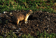 /images/133/2007-07-27-mt-prairie-dog04.jpg - #04468: Prairie dogs in Greycliff Prairie Dog Town … July 2007 -- Greycliff Prairie Dog Town, Montana