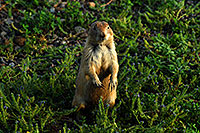 /images/133/2007-07-27-mt-prairie-dog05.jpg - #04469: Prairie dogs in Greycliff Prairie Dog Town … July 2007 -- Greycliff Prairie Dog Town, Montana