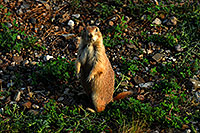 /images/133/2007-07-27-mt-prairie-dog07.jpg - #04472: Prairie dogs in Greycliff Prairie Dog Town … July 2007 -- Greycliff Prairie Dog Town, Montana