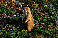 /images/133/2007-07-27-mt-prairie-dog08.jpg - #04473: Prairie dogs in Greycliff Prairie Dog Town … July 2007 -- Greycliff Prairie Dog Town, Montana