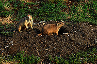 /images/133/2007-07-27-mt-prairie-dog10.jpg - #04475: Prairie dogs in Greycliff Prairie Dog Town … July 2007 -- Greycliff Prairie Dog Town, Montana