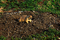 /images/133/2007-07-27-mt-prairie-dog11.jpg - #04476: Prairie dogs in Greycliff Prairie Dog Town … July 2007 -- Greycliff Prairie Dog Town, Montana
