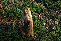 /images/133/2007-07-27-mt-prairie-dog14.jpg - #04479: Prairie dogs in Greycliff Prairie Dog Town … July 2007 -- Greycliff Prairie Dog Town, Montana