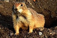 /images/133/2007-07-27-mt-prairie-dog16c.jpg - #04475: Prairie dogs in Greycliff Prairie Dog Town … July 2007 -- Greycliff Prairie Dog Town, Montana