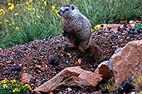 /images/133/2007-07-27-wyo-bear-marmot01.jpg - #04484: Marmot living at top of Beartooth Pass Highway … July 2007 -- Beartooth Pass(WY), Wyoming
