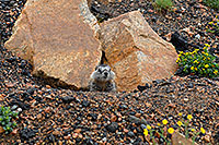 /images/133/2007-07-27-wyo-bear-marmot02.jpg - #04485: Marmot living at top of Beartooth Pass Highway … July 2007 -- Beartooth Pass(WY), Wyoming
