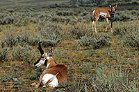 /images/133/2007-07-27-y-pronghorns03.jpg - #04517: 2 Male Pronghorns in Lamar Valley … July 2007 -- Lamar Valley, Yellowstone, Wyoming