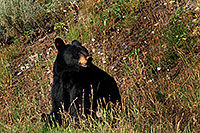 /images/133/2007-07-28-y-blackbear01.jpg - #04535: Black Bear in Yellowstone … July 2007 -- Yellowstone, Wyoming