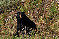 /images/133/2007-07-28-y-blackbear02.jpg - #04536: Black Bear in Yellowstone … July 2007 -- Yellowstone, Wyoming