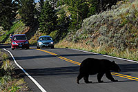 /images/133/2007-07-28-y-blackbear03.jpg - #04537: Black Bear crossing the road in Yellowstone … July 2007 -- Yellowstone, Wyoming
