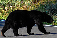 /images/133/2007-07-28-y-blackbear04.jpg - #04538: Black Bear crossing the road in Yellowstone … July 2007 -- Yellowstone, Wyoming