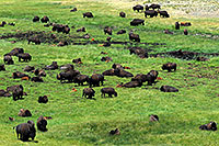 /images/133/2007-07-28-y-buff-3297.jpg - #04542: Herd of over 200 Buffalo … July 2007 -- Lamar Valley, Yellowstone, Wyoming