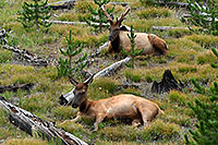 /images/133/2007-07-28-y-elk02.jpg - #04554: Elk in Yellowstone … July 2007 -- Yellowstone, Wyoming