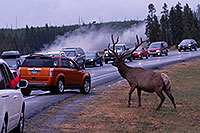 /images/133/2007-07-28-y-road-elk01.jpg - #04572: 6 year old Bull Elk crossing the road -- traffic stopped to enjoy the view … July 2007 -- Yellowstone, Wyoming