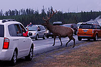 /images/133/2007-07-28-y-road-elk02.jpg - #04573: 6 year old Bull Elk crossing the road -- traffic stopped to enjoy the view … July 2007 -- Yellowstone, Wyoming