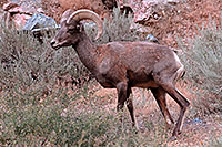 /images/133/2007-07-29-wind-bighorn04.jpg - #04585: Bighorn Sheep in Wind River Canyon … July 2007 -- Wind River Canyon, Wyoming