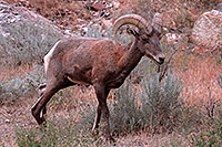 /images/133/2007-07-29-wind-bighorn05.jpg - #04586: Bighorn Sheep in Wind River Canyon … July 2007 -- Wind River Canyon, Wyoming