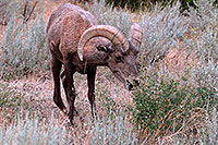 /images/133/2007-07-29-wind-bighorn08.jpg - #04589: Bighorn Sheep in Wind River Canyon … July 2007 -- Wind River Canyon, Wyoming
