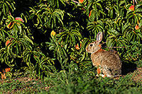 /images/133/2007-08-24-lone-rabbit-8644.jpg - #04608: Rabbit in Lone Tree … August 2007 -- Taos, Lone Tree, Colorado