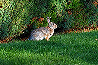 /images/133/2007-08-24-lone-rabbit-8677.jpg - #04610: Rabbit in Lone Tree … August 2007 -- Taos, Lone Tree, Colorado