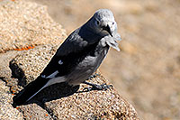 /images/133/2007-08-25-rm-bird-8745.jpg - #04615: Gray Jay bird at Rainbow Curve in western  Rocky Mountain National Park … August 2007 -- Rainbow Curve, Rocky Mountain National Park, Colorado