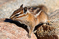 /images/133/2007-08-25-rm-chipmunk-8795.jpg - #04620: Chipmunk at Rainbow Curve in western  Rocky Mountain National Park … August 2007 -- Rainbow Curve, Rocky Mountain National Park, Colorado