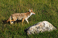 /images/133/2007-08-25-rm-coyote-8829.jpg - #04583: Coyote on a meadow near Sheep Lakes in Rocky Mountain National Park … August 2007 -- Sheep Lakes, Rocky Mountain National Park, Colorado
