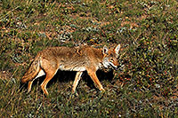 /images/133/2007-08-25-rm-coyote-8851.jpg - #04623: Coyote on a meadow near Sheep Lakes in Rocky Mountain National Park … August 2007 -- Sheep Lakes, Rocky Mountain National Park, Colorado