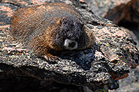 /images/133/2007-08-26-rm-2marmots-0248.jpg - #04636: Marmot at Rock Cut - in western Rocky Mountain National Park … August 2007 -- Rock Cut, Rocky Mountain National Park, Colorado