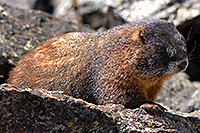/images/133/2007-08-26-rm-2marmots-0272.jpg - #04638: Marmot at Rock Cut - in western Rocky Mountain National Park … August 2007 -- Rock Cut, Rocky Mountain National Park, Colorado