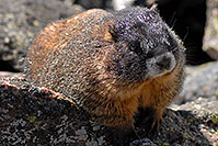 /images/133/2007-08-26-rm-2marmots-0276.jpg - #04639: Marmot at Rock Cut - in western Rocky Mountain National Park … August 2007 -- Rock Cut, Rocky Mountain National Park, Colorado