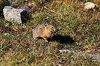 /images/133/2007-08-26-rm-pika-9740.jpg - #04651: Pika gathering grass for winter warmth and food … August 2007 -- Rock Cut, Rocky Mountain National Park, Colorado