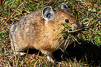 /images/133/2007-08-26-rm-pika-9740c.jpg - #04611: Pika gathering grass for winter warmth and food … August 2007 -- Rock Cut, Rocky Mountain National Park, Colorado