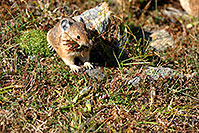 /images/133/2007-08-26-rm-pika-9790.jpg - #04612: Pika gathering grass for winter warmth and food … August 2007 -- Rock Cut, Rocky Mountain National Park, Colorado
