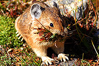 /images/133/2007-08-26-rm-pika-9790c.jpg - #04654: Pika gathering grass for winter warmth and food … August 2007 -- Rock Cut, Rocky Mountain National Park, Colorado