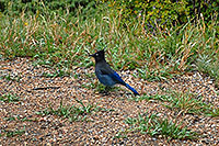 /images/133/2007-09-03-rm-bird1-1488.jpg - #04665: (blue) Steller`s Jay near Sheep Lakes … Sept 2007 -- Sheep Lakes, Rocky Mountain National Park, Colorado