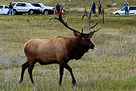 /images/133/2007-09-08-rm-elk-2563.jpg - #04644: 7 year old Bull Elk sticking his tongue out for the camera … Sept 2007 -- Moraine Park, Rocky Mountain National Park, Colorado