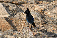 /images/133/2007-09-08-rm-stellers-1651.jpg - #04655: (Blue) Steller`s Jay with a peanut in his beak … in Rocky Mountain National Park … Sept 2007 -- Sheep Lakes, Rocky Mountain National Park, Colorado
