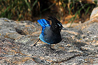 /images/133/2007-09-08-rm-stellers-1667.jpg - #04658: (Blue) Steller`s Jay in Rocky Mountain National Park … Sept 2007 -- Sheep Lakes, Rocky Mountain National Park, Colorado