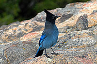 /images/133/2007-09-08-rm-stellers-1671.jpg - #04659: (Blue) Steller`s Jay in Rocky Mountain National Park … Sept 2007 -- Sheep Lakes, Rocky Mountain National Park, Colorado