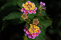 /images/133/2007-10-06-tucson-flow-5256.jpg - #04721: Lantana Camara flowers in Tucson, Arizona … Oct 2007 -- Tucson, Arizona