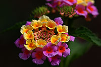 /images/133/2007-10-06-tucson-flow-5271.jpg - #04722: Lantana Camara flowers in Tucson, Arizona … Oct 2007 -- Tucson, Arizona