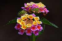 /images/133/2007-10-06-tucson-flow-5283.jpg - #04764: Lantana Camara flowers in Tucson, Arizona … Oct 2007 -- Tucson, Arizona