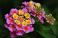 /images/133/2007-10-06-tucson-flow-5312.jpg - #04724: Lantana Camara flowers in Tucson, Arizona … Oct 2007 -- Tucson, Arizona