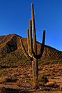 /images/133/2007-10-08-sag-cactus-6149v.jpg - #04789: Saguaro Cactus near Saguaro Lake … Dec 2007 -- Saguaro Lake, Arizona