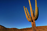 /images/133/2007-10-08-sag-cactus-6184.jpg - #04752: Saguaro Cactus near Saguaro Lake … Dec 2007 -- Saguaro Lake, Arizona