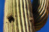 /images/133/2008-02-09-supers-9598.jpg - #04819: Saguaro cactus in Superstition Mountains … Feb 2008 -- Tortilla Flat Trail, Superstitions, Arizona