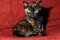 /images/133/2008-02-18-kittens-0787.jpg - #04854: Saraphina - Hanna`s Kitten #2 … Feb 2008 -- Tempe, Arizona