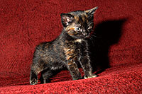 /images/133/2008-02-18-kittens-0840.jpg - #04855: Saraphina - Hanna`s Kitten #2 … Feb 2008 -- Tempe, Arizona